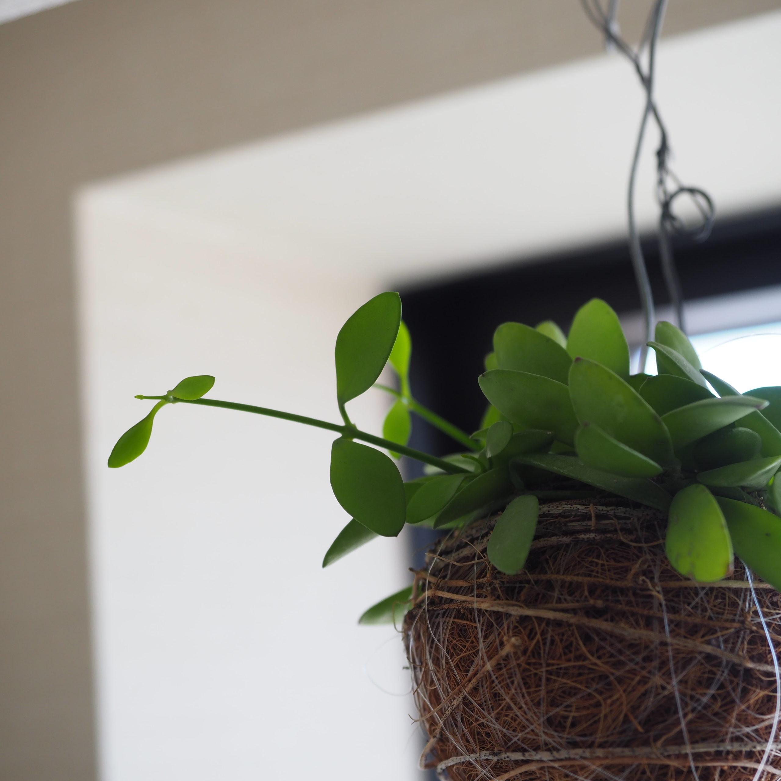 新芽が生えたIKEAのディスキディア